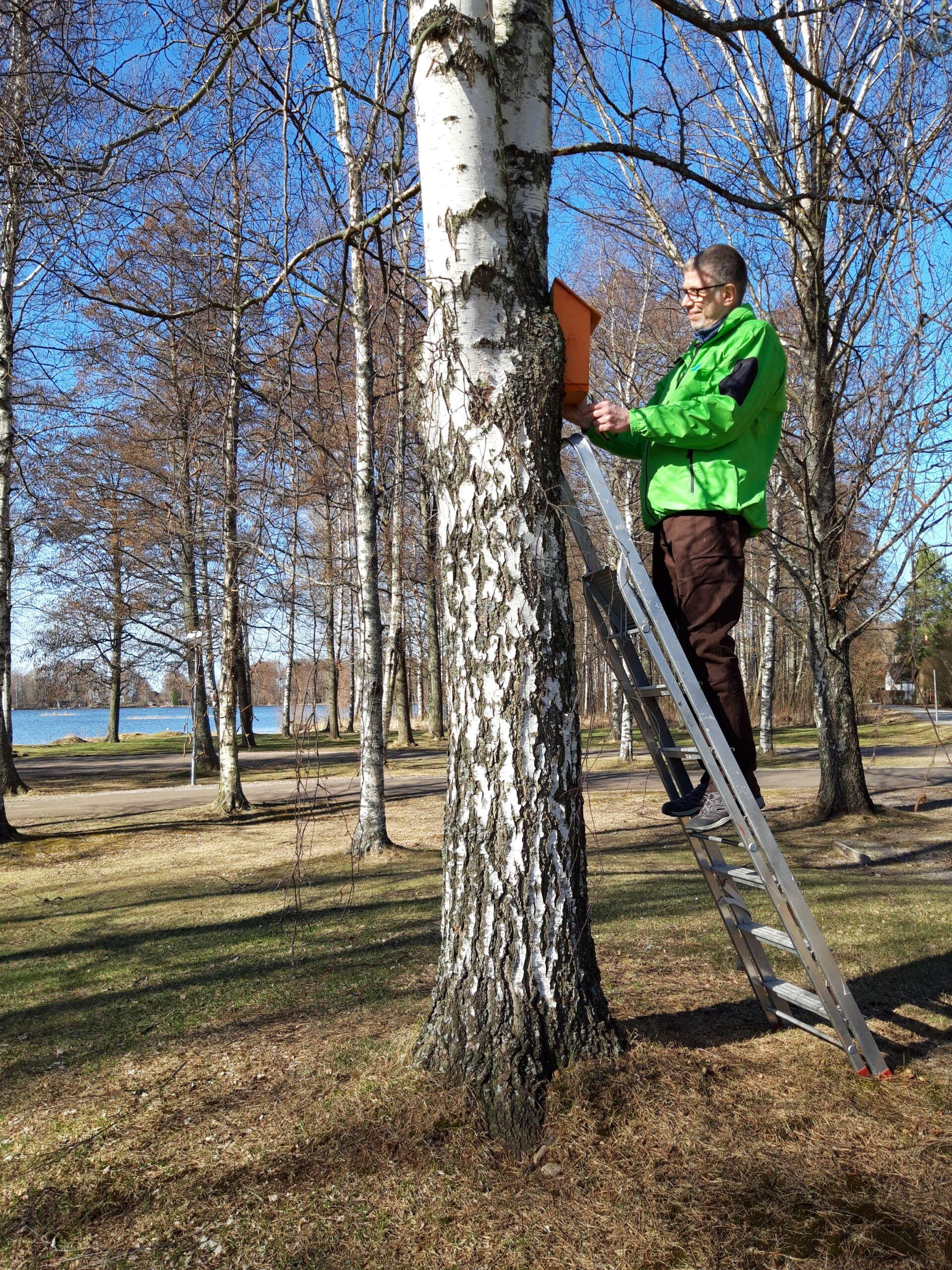 Kunnanjohtaja kiinnittää linnunpönttöä puuhun
